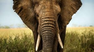 bull African elephant for leadership blog